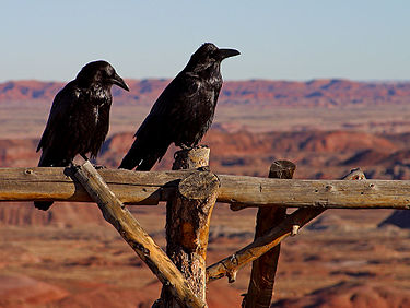 The Native American Raven